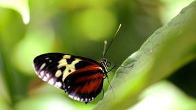 Dark Ismenius tiger butterfly on green leaf Stock Photos
