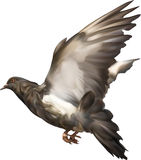 Dark isolated dove illustration Stock Images