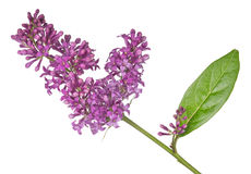 Dark isolated lilac inflorescence and leaf Royalty Free Stock Image