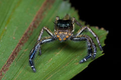 A dark jumping spider Royalty Free Stock Photo