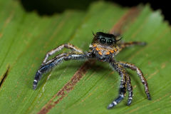 A dark jumping spider Royalty Free Stock Images
