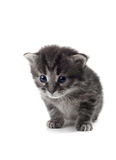 Dark Kitten Isolated Royalty Free Stock Image