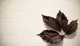Dark leaf of grapes in a corner on a light wooden board in a sun Stock Image