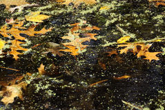 Dark leaves. Leaves in a forest lake decorated with alge Royalty Free Stock Photo