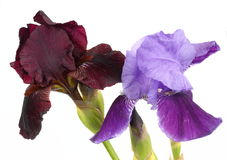 Dark and light purple bearded iris. On a white background Royalty Free Stock Images