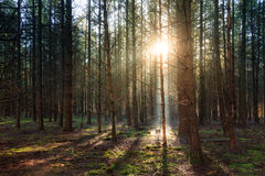Dark light woods royalty free stock image