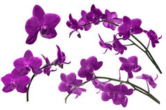 Dark lilac orchid flowers collection isolated on white Royalty Free Stock Images