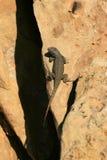 Dark Lizard Near The Edge Stock Photography