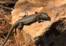A dark lizard sitting on a stone. In Croatia Stock Image