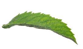 Dark long green mint leaf Stock Photo