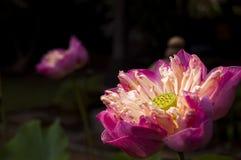 Dark lotus flower Stock Image