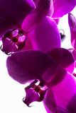 Dark Magenta Orchids Royalty Free Stock Photos