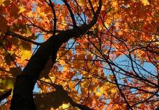 Dark maple. Fall colours, maple stock photo