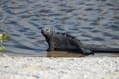 Marine iguana on the Galapagos Islands stock photo