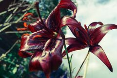 Dark maroon lilies in the garden stock photography
