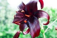 Dark maroon lily in the garden stock photo