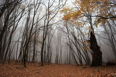 Dark misty forest. Autumn forest with fog among trees and a lot of fallen leaves Royalty Free Stock Image