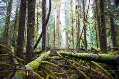 Dark misty forest Stock Image