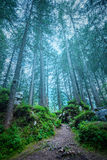 Dark misty forest landscape - big trees, path, roots and stones Royalty Free Stock Photos