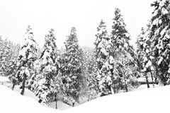 Dark and Misty Forest in Winter Royalty Free Stock Photo