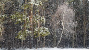 Dark mixed forest and blizzard stock footage