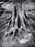 Dark monochrome close up image of old twisted tree roots in rocky ground with textured bark. A dark monochrome close up image of old twisted tree roots in rocky royalty free stock images