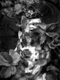 Dark monochrome gothic image an old dirty vintage baby doll with a creepy scary eye staring through leaves and plants on a dark. Background spooky horror royalty free stock image