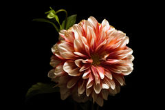 Dark Mood. Floral portrait of a Peach and Ivory Mum on black Royalty Free Stock Photography