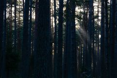Dark and moody forest trees at late evening. With random sun rays through the branches. depression and suicidal view stock photography