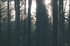 Dark and moody forest trees at late evening - vintage retro look. Dark and moody forest trees at late evening with random sun rays through the branches stock photography