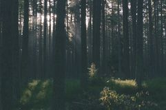 Dark and moody forest trees at late evening - vintage retro look. Dark and moody forest trees at late evening with random sun rays through the branches royalty free stock photos