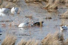 Snow Goose -Dark Morph Stock Photos