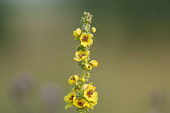 Dark mullein flowers Stock Photos