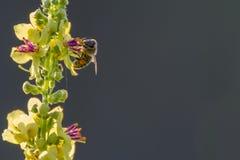 Dark mullein. With a honey bee stock photos