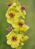 Dark Mullein Royalty Free Stock Photo
