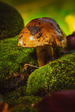 Dark mushrooms on green moss with a wet hat.  stock image