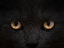 Dark muzzle cat close-up. front view Stock Photography