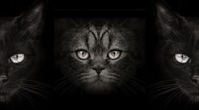 Dark muzzle cat close-up. front view Royalty Free Stock Photo
