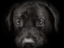 Dark muzzle labrador dog closeup. front view Stock Photos