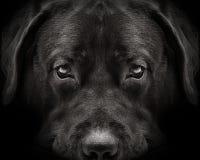 Dark muzzle labrador dog closeup. front view Stock Images