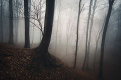 Dark mysterious forest with fog Royalty Free Stock Photo