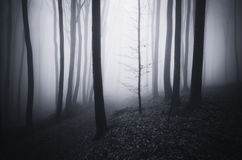 Dark mysterious forest with fog trough trees Royalty Free Stock Photo