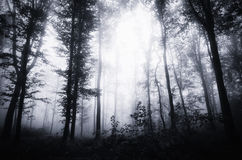 Dark mysterious thick forest with fog on Halloween Stock Photography
