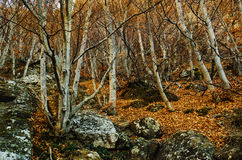 Dark mystical forest. Natural gothic background with dark mystical autumn forest royalty free stock image