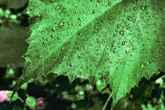 Dark natural background with rain drops on green grape leaves closeup Royalty Free Stock Photography