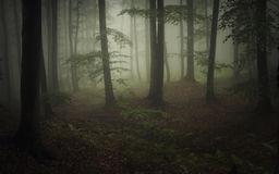 Free Dark Natural Forest With Fog And Green Vegetation Royalty Free Stock Images - 50641699