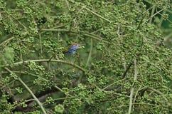 Dark-necked Tailorbird Orthotomus atrogularis bird. In nature stock photo