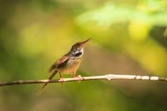 Dark-necked Tailorbird. (Orthotomus atrogularis) in forest royalty free stock image