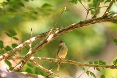 Dark-necked Tailorbird. (Orthotomus atrogularis) in forest royalty free stock photo