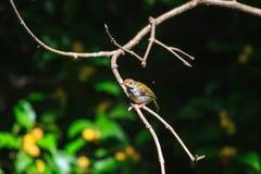 Dark-necked Tailorbird. (Orthotomus atrogularis) in forest stock image